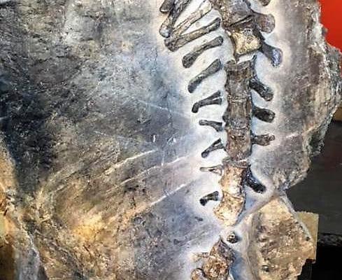 Bruno è il più grande dinosauro ritrovato completo in Italia