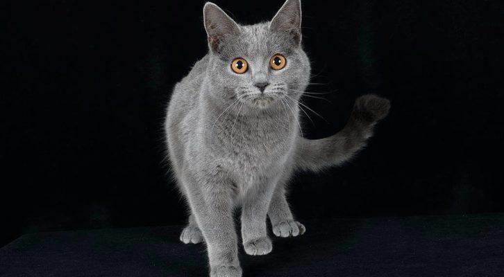 """Torna """"Gattomania 2018"""", l'Esposizione Internazionale Felina"""